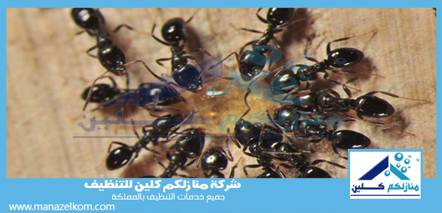 شركة مكافحة النمل الأسود بمكة
