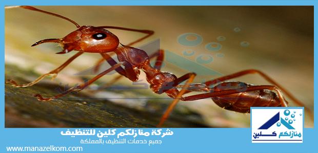 شركة مكافحة النمل الاحمر بمكة